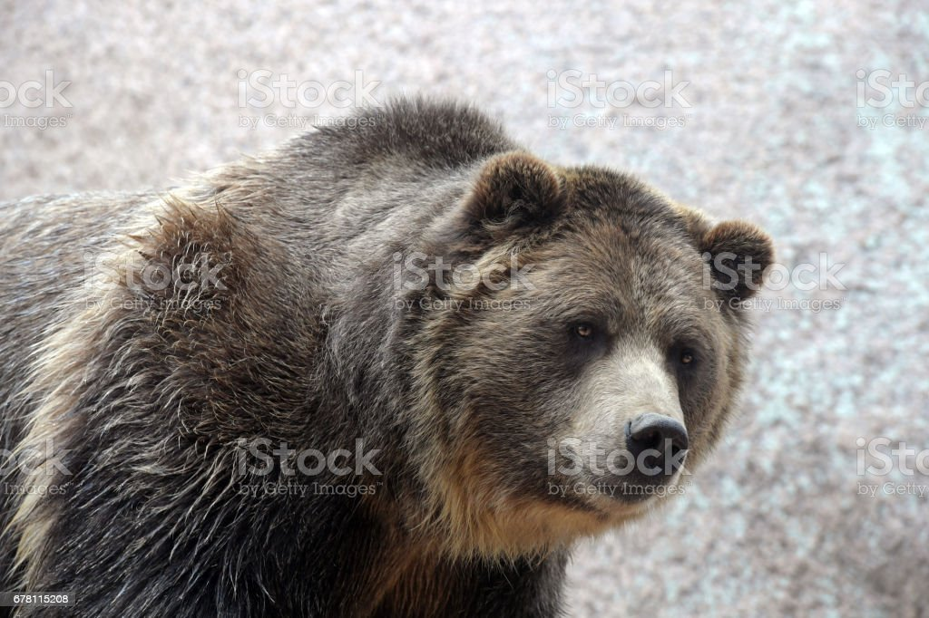 Grizzle Bear stock photo