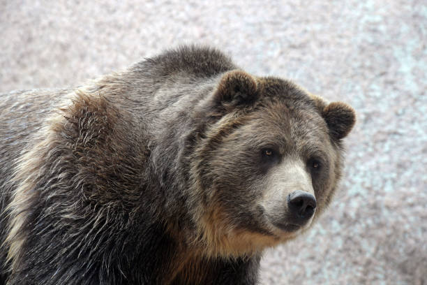 grizzle bear - carnivora stock photos and pictures