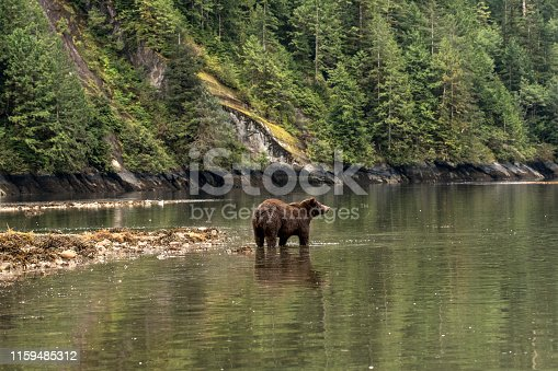 Bear reflected in the waters of the Great Bear Rainforest in British Columbia, Canada