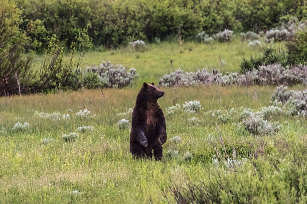 Grizzly 399 stock photo