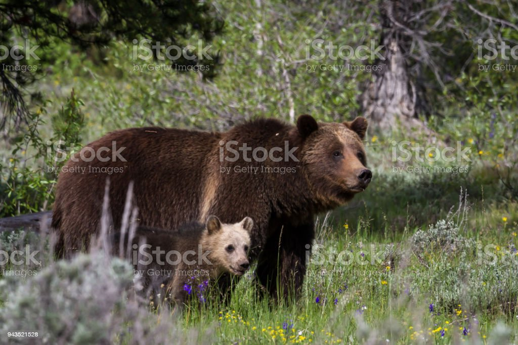 Grizzly 399 with Her Cub stock photo