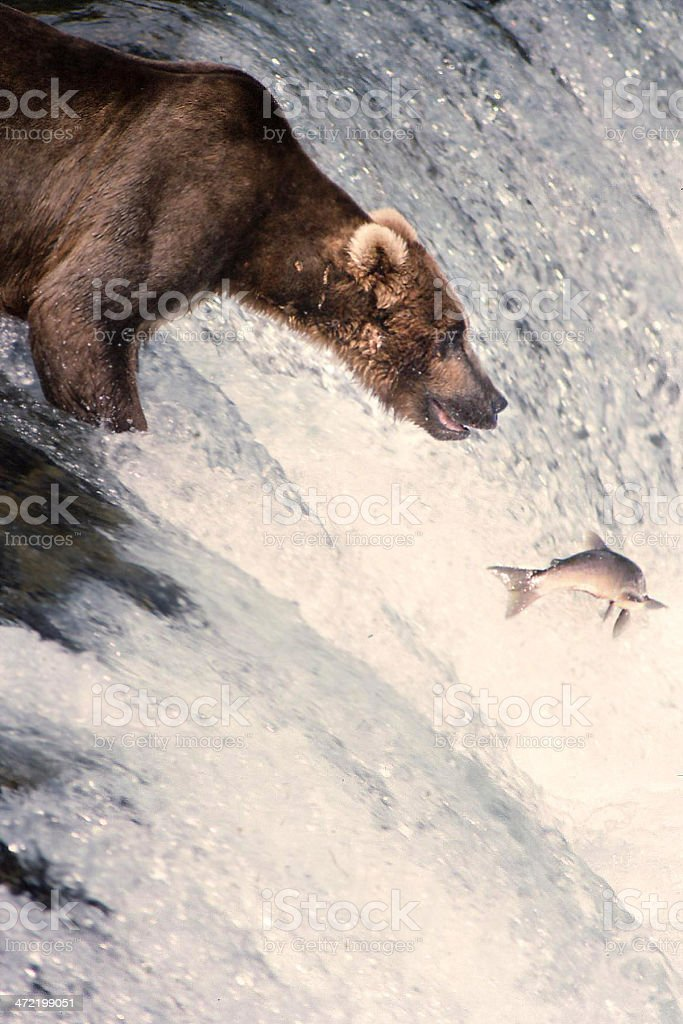 Grizzly about to catch salmon stock photo