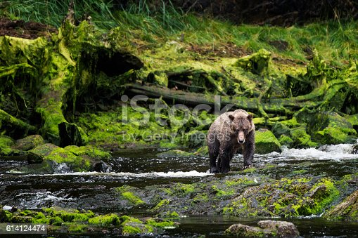 Lone grizzly coastal brown bear approaches and advances across the water while fishing for salmon in a lush mossy green rainforest on Chichagof Island, Juneau, Alaska, USA