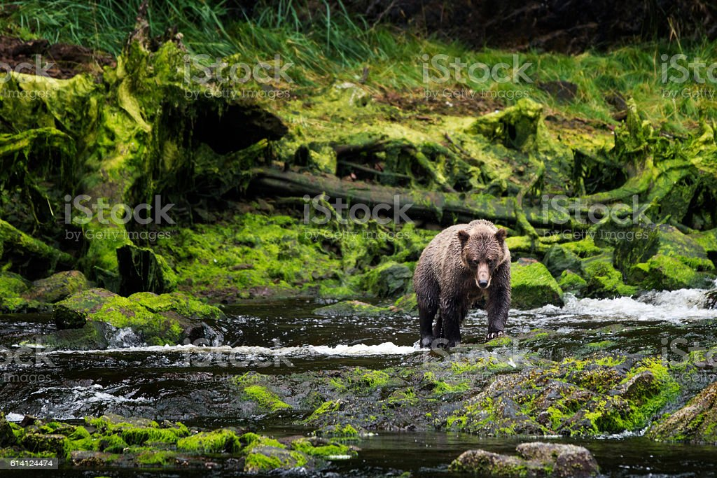 Grizzly approaches from mossy riverbank bildbanksfoto