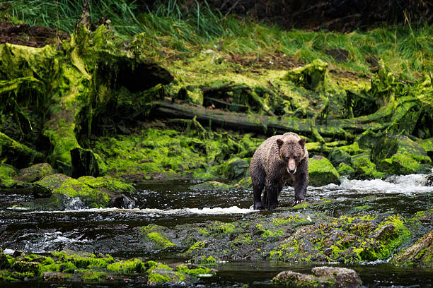 grizzly approaches from mossy riverbank - forest animals stock photos and pictures