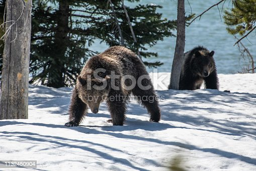 Playful Grizzly bear mom and cub (about 2) on the western side of Yellowstone's lower loop. They play fight (wrestle) and run about in the first week of May as the snow melts.
