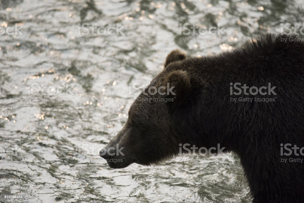 Grizzly Bear and salmon run stock photo