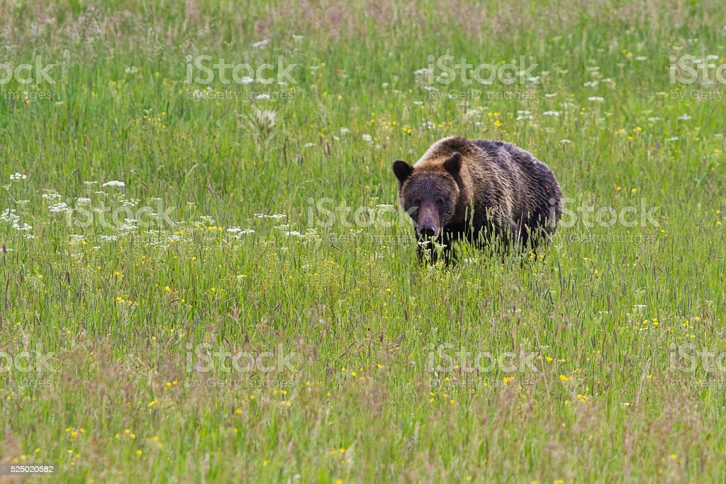 Grizzly Bear and Wildflowers stock photo