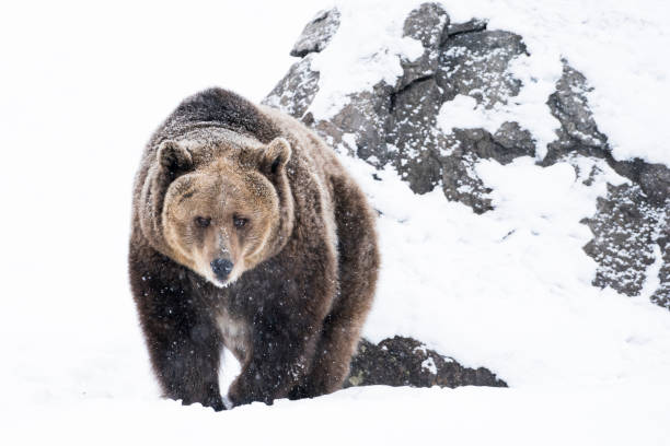 Grizzly bear approaching in snow on winter day stock photo