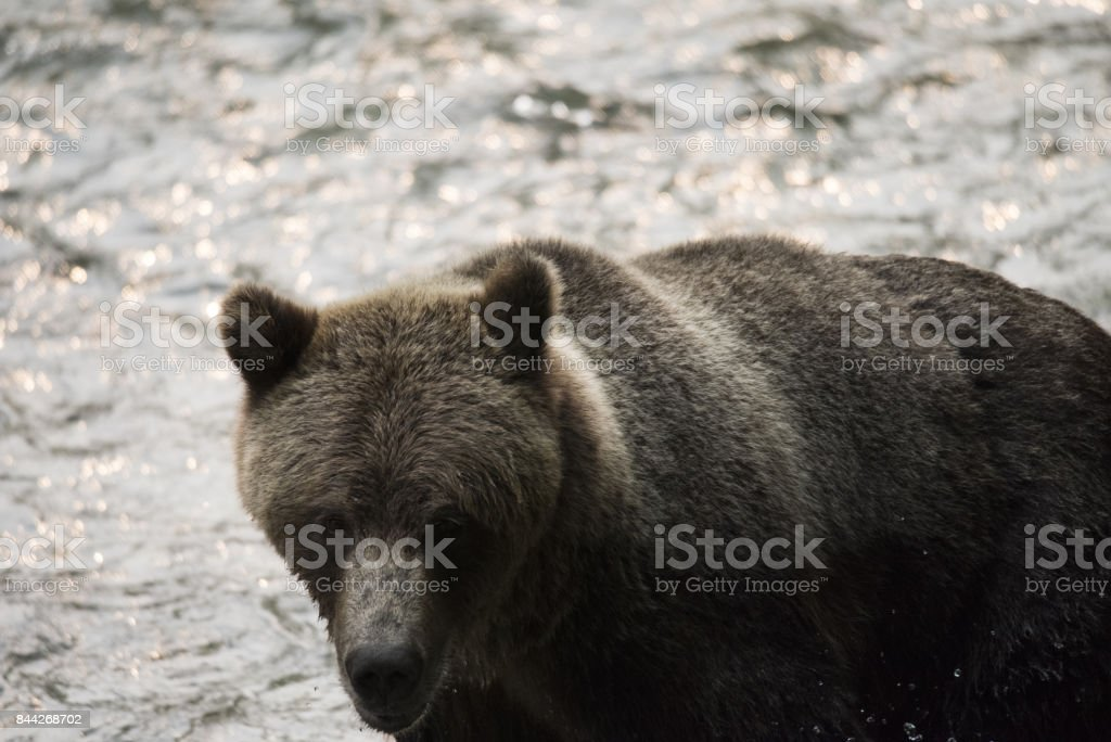 Grizzly Bear at a stream stock photo