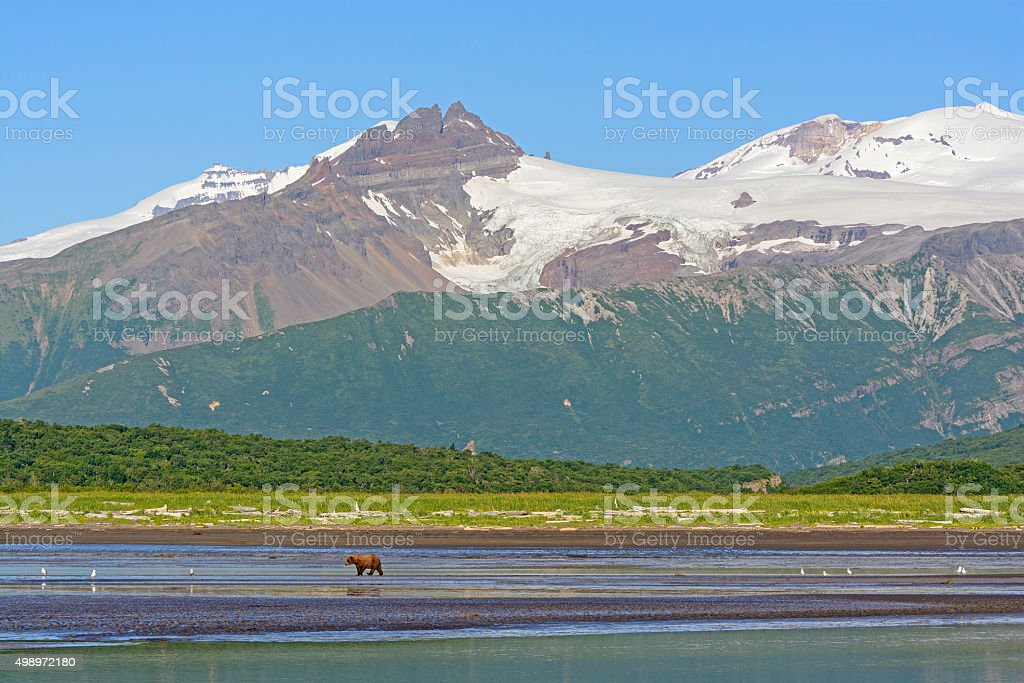 Grizzly Bear Bear Walking on a Tidal Flat Beneath the Mountains stock photo
