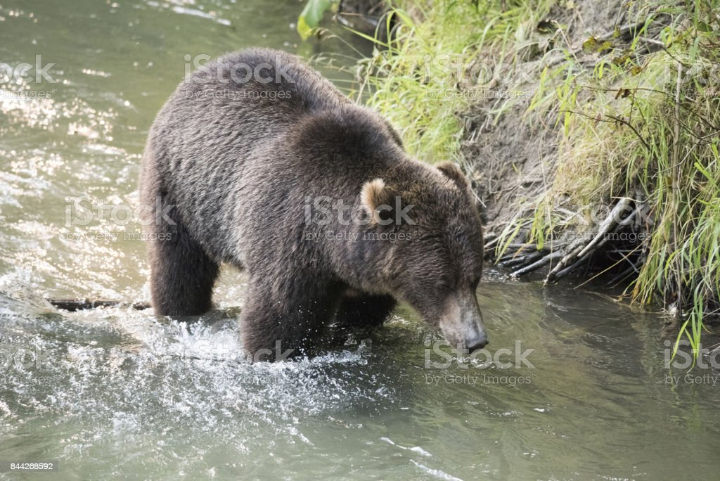 Grizzly Bear - Brown Bear stock photo