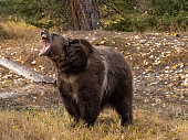 istock Grizzly Bear by Waters Edge Autumn Color Background Captive 1185577943