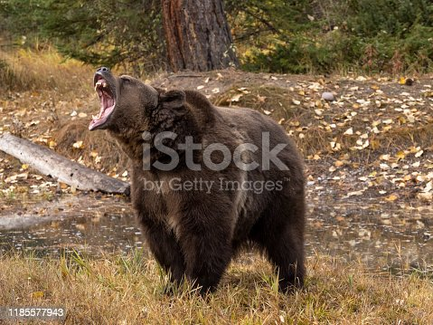 Grizzly Bear by waters edge with fall color background. A game farm in Montana, with animals in natural settings.
