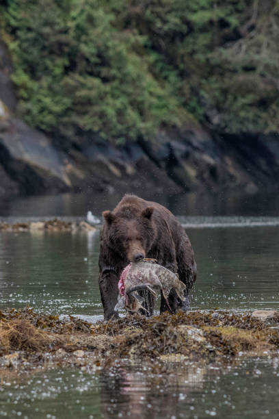 Grizzly Bear carrying salmon stock photo