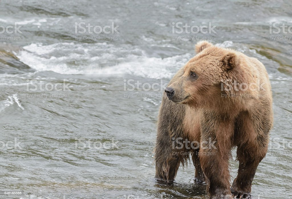 Grizzly bear catching salmon, Brook falls, Alaska stock photo