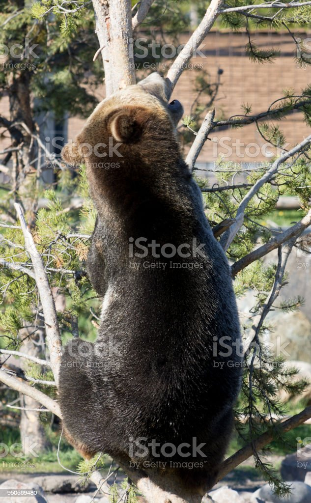 Grizzly Bear Climbing a Tree stock photo