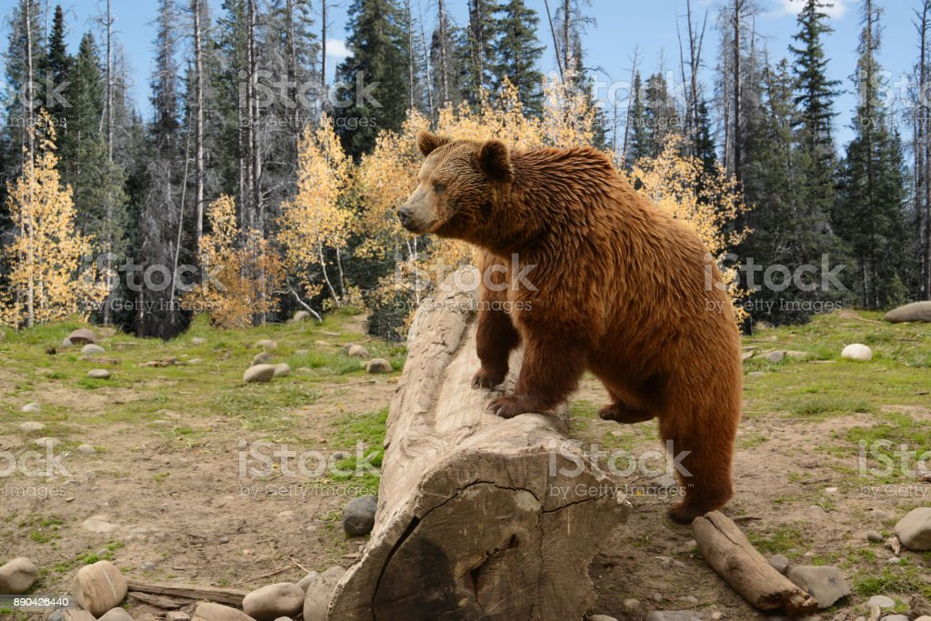 Grizzly Bear Climbing Over Old Log In Autumn Woods stock photo
