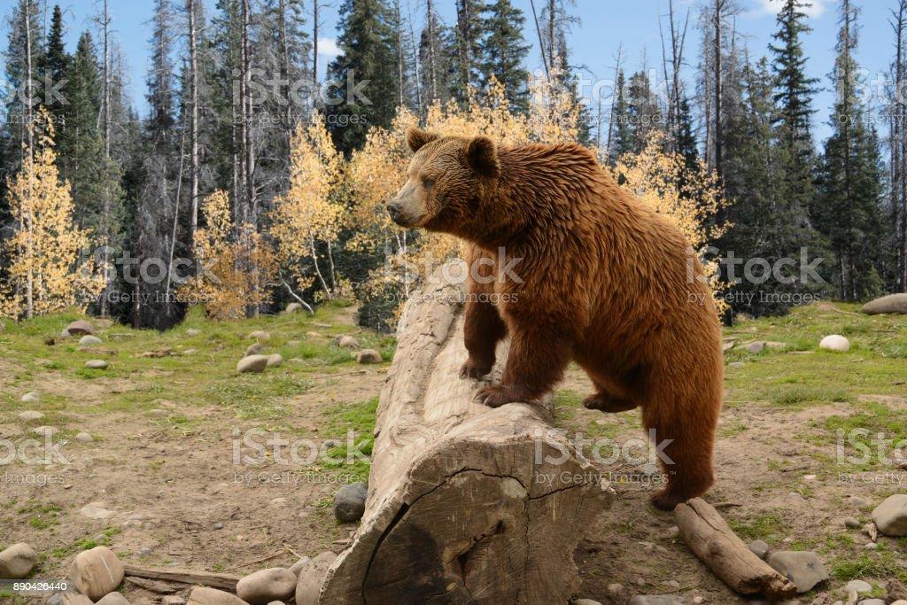 Urso escalando sobre Log antigo bosque de outono - foto de acervo
