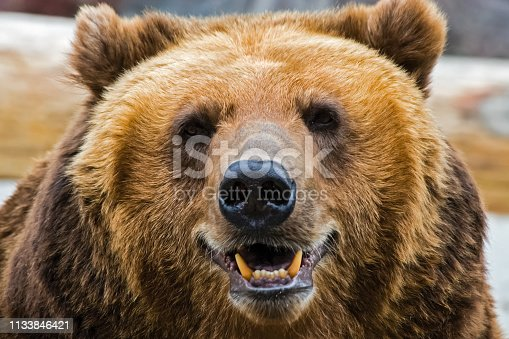Grizzly bear close up. The brown bear is a formidable predator of the taiga.