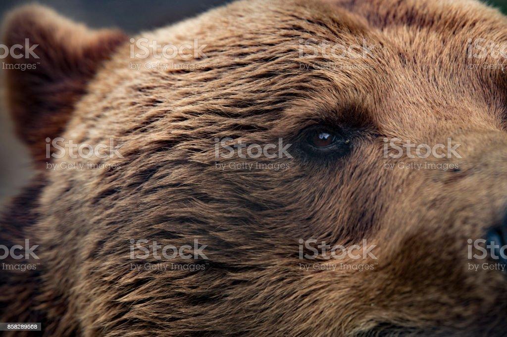 Grizzly bear closeup eye stock photo