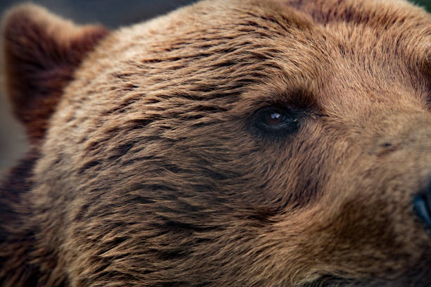 grizzly bear closeup eye - mammifero foto e immagini stock