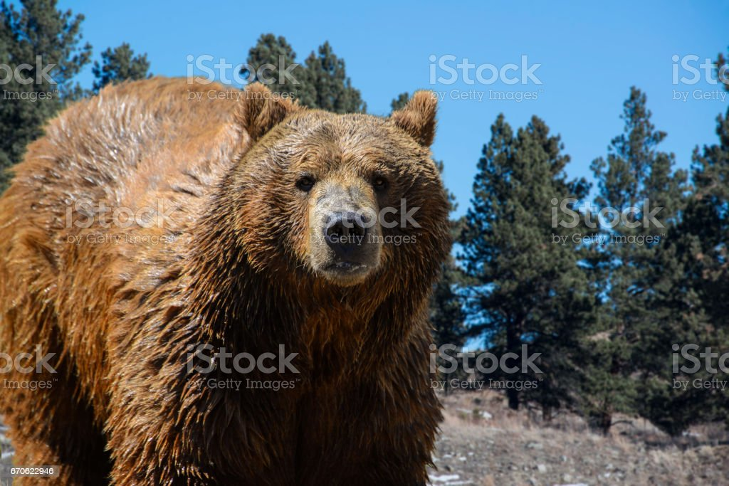 Grizzly bear closeup in pine forest mountains stock photo