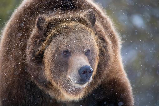 Brown Bear (Ursus arctos) Close-up in Winter Snow