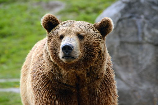 istock Grizzly bear closeup of head 629762792