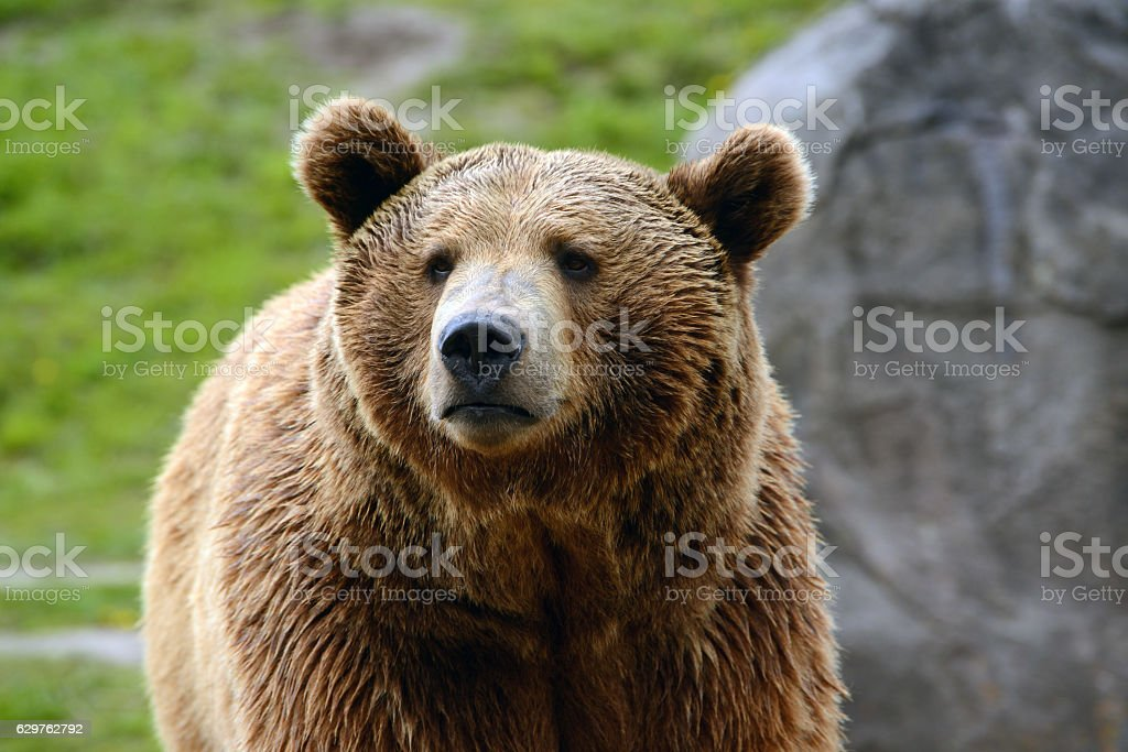 Grizzly bear closeup of head stock photo