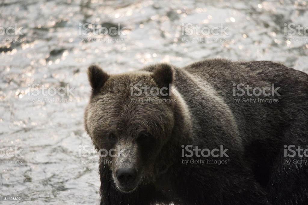 Grizzly Bear Country stock photo