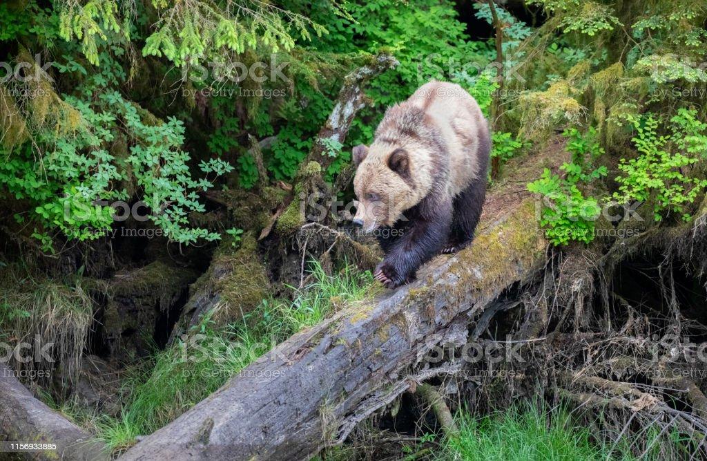 Brown Bear, Ursus arctos Khutzeymateen Provincial Park, Great Bear...