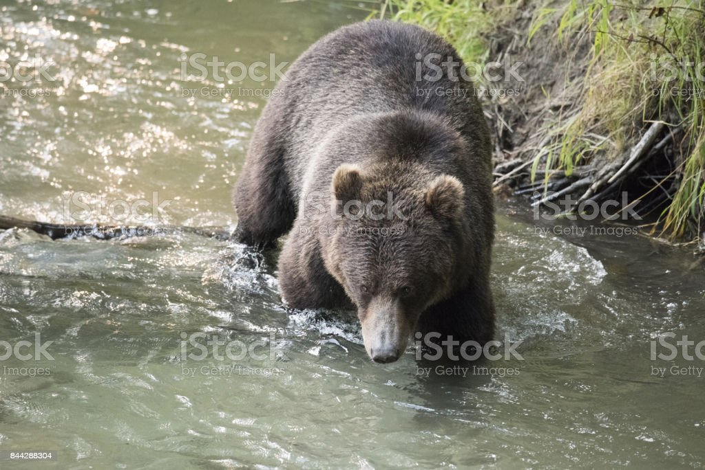 Grizzly Bear crossing a stream closeup stock photo