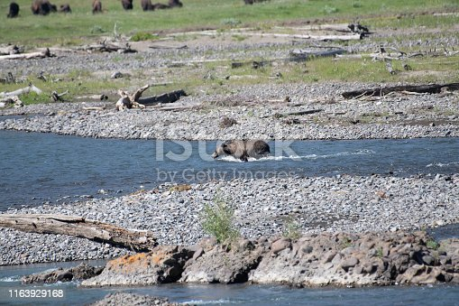Grizzly bear set to cross river