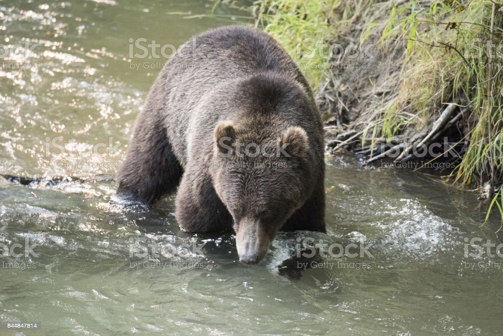 Grizzly Bear crossong a stream stock photo