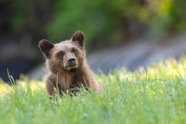 Grizzly Bear Cub at a meadow in Canada's Great Bear Rainforest stock photo