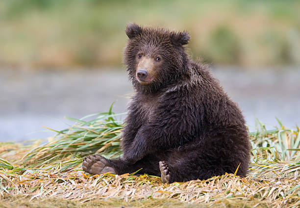 grizzly bear cub - ourson photos et images de collection