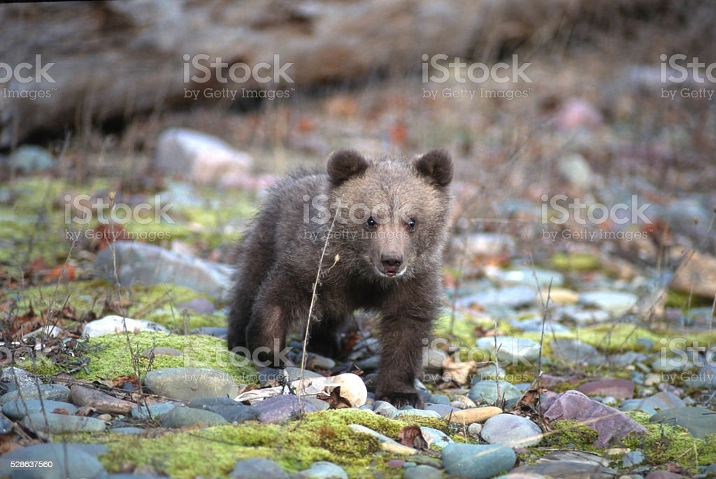 Grizzly Bear Cub (ursus horilibus) stock photo