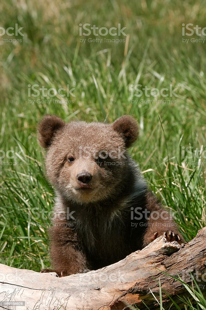 Grizzly bear cub sitting on the log stock photo