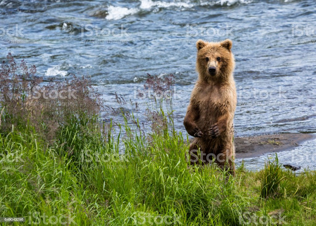 Grizzly bear cub standing on hind legs looking toward camera stock photo