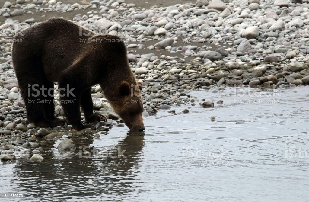 Grizzly bear drinking by the river stock photo