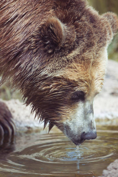 Grizzly Bear Drinking