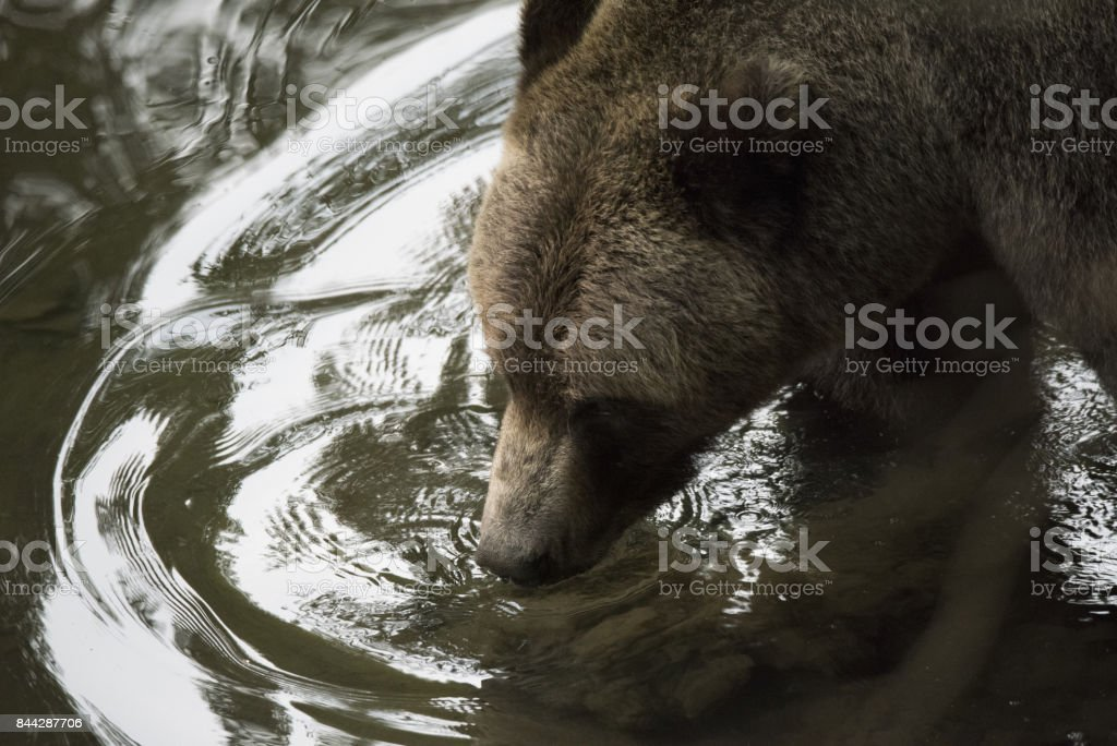 Grizzly Bear drinking water closeup stock photo