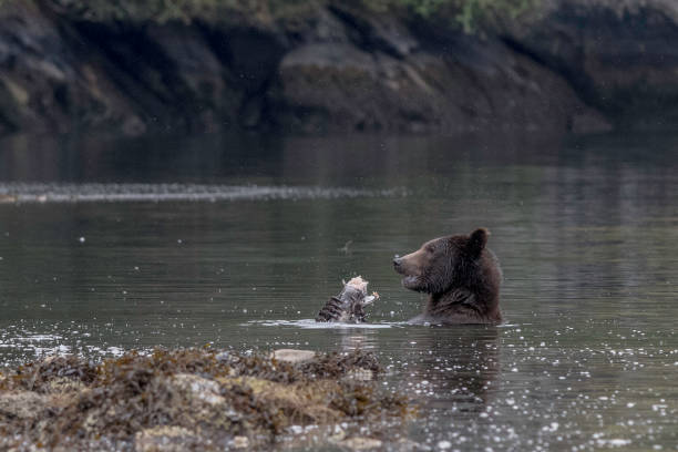 Grizzly bear eating salmon stock photo
