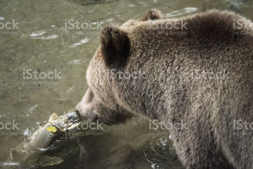 Grizzly Bear eating spawning salmon stock photo