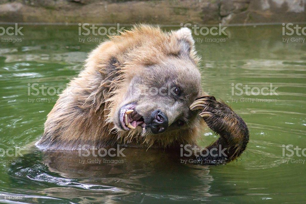 Grizzly Bear Enjoying a Scratch stock photo