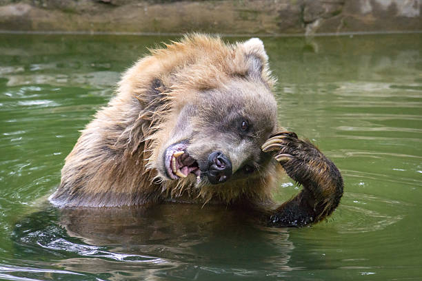 Grizzly Bear Enjoying a Scratch stock photo