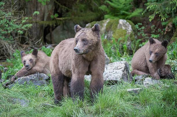 Grizzly Bear Family, Khutzeymateen stock photo