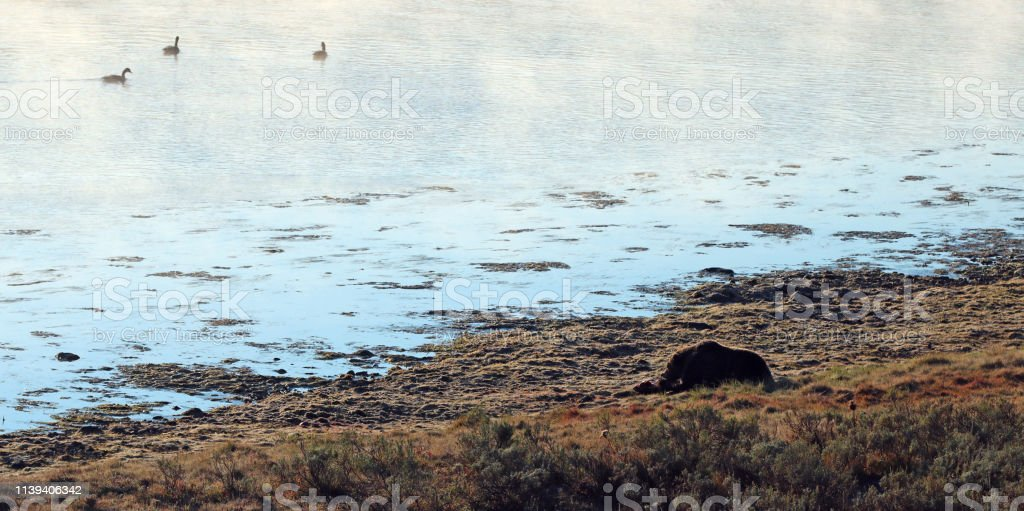 Grizzly bear feeding on elk carcass by the steaming Yellowstone river...