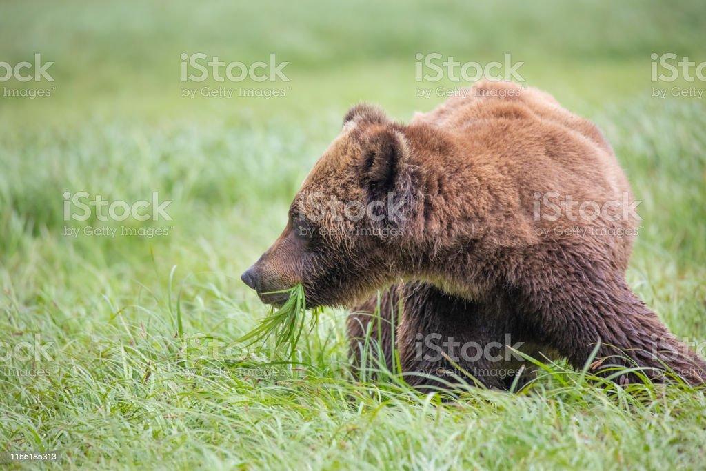 Brown Bear, Ursus arctos, Khutzeymateen Provincial Park, Great Bear...